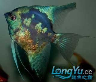 超高的蓝色魔鬼神仙 西安观赏鱼信息 西安博特第5张
