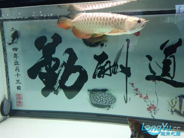 闲来没事 发几张小龙照片 还附加视频呦 西安观赏鱼信息 西安博特第11张