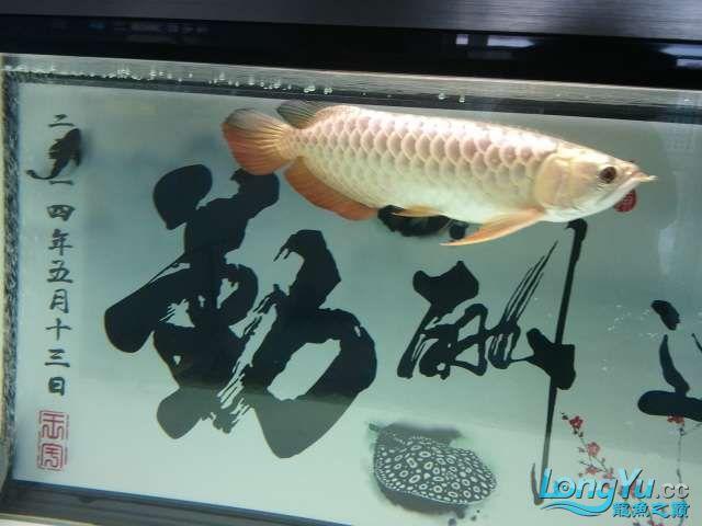 闲来没事 发几张小龙照片 还附加视频呦 西安观赏鱼信息 西安博特第12张