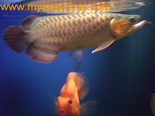 什么品种的孔雀鱼比较好一点? 西安龙鱼论坛