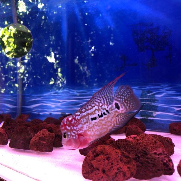 【西安虎纹银板鱼】泰金罗汉怎样辩别公 母鱼友们