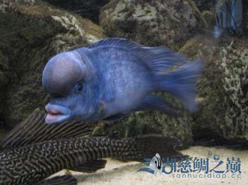 三湖慈鲷鱼友们看看这蓝茉莉