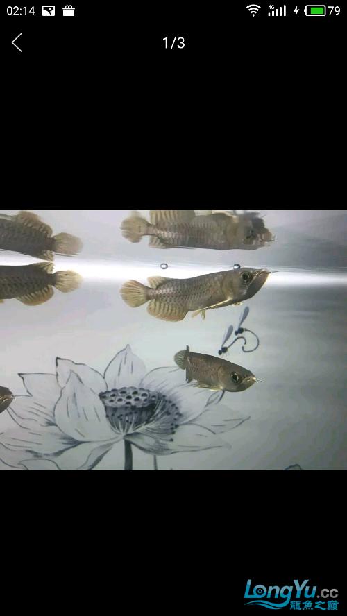 【西安水族】请问这是星点还是高背 西安龙鱼论坛 西安博特第2张