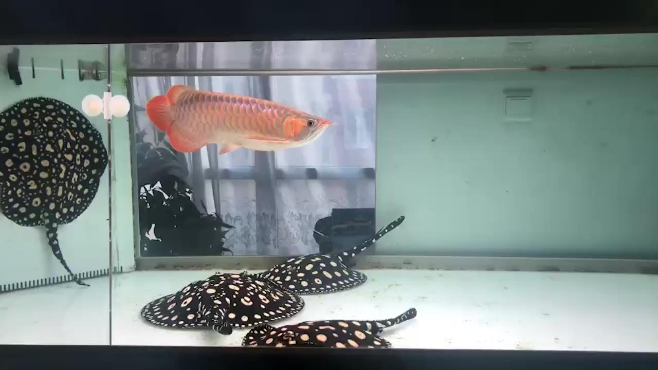 【西安最大水族批发市场】白缸下的小1龙鱼 西安龙鱼论坛