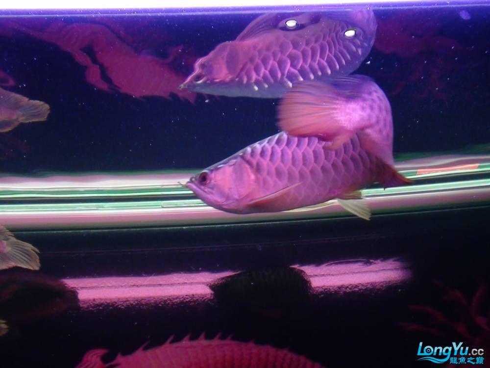 问高手我发帖一鱼友说是高背请鉴定 西安观赏鱼信息 西安博特第4张