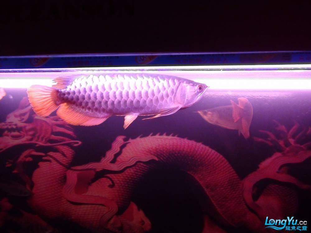 问高手我发帖一鱼友说是高背请鉴定 西安观赏鱼信息 西安博特第7张