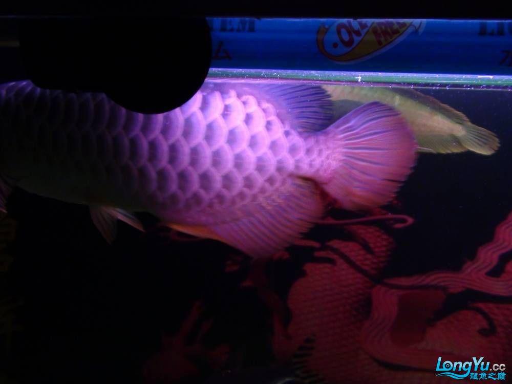 问高手我发帖一鱼友说是高背请鉴定 西安观赏鱼信息 西安博特第8张