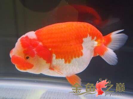 我的小兰寿 西安龙鱼论坛 西安博特第2张