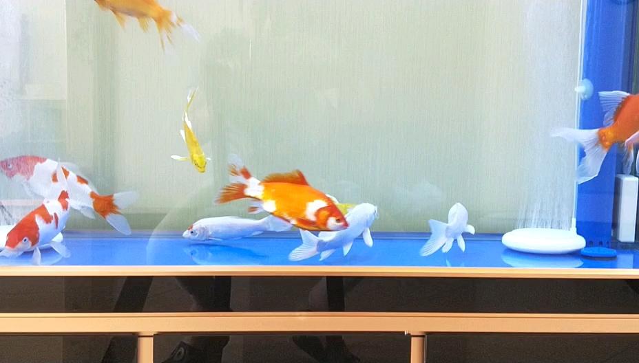 新手养鱼一个月求大神帮我看看这鱼正常吗? 西安观赏鱼信息 西安博特第1张