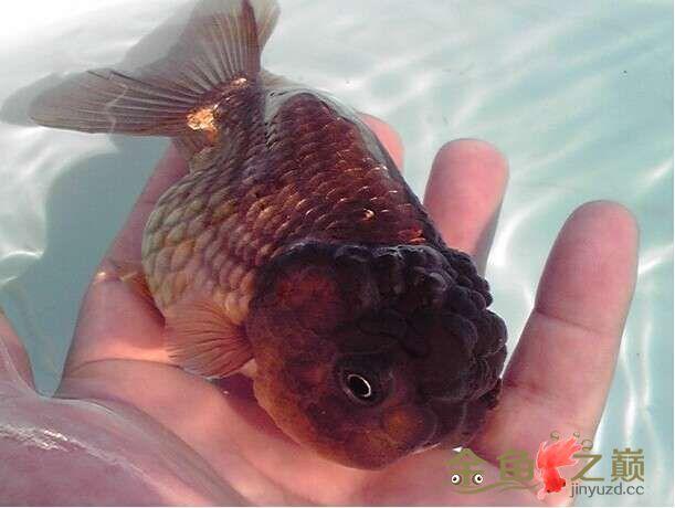 我漂亮的紫寿来瞧瞧 西安龙鱼论坛 西安博特第1张