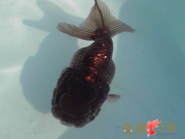 我漂亮的紫寿来瞧瞧 西安龙鱼论坛 西安博特第2张