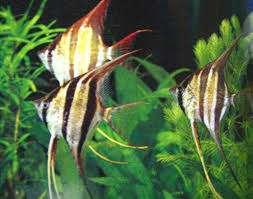 神仙鱼吃什么 西安观赏鱼信息