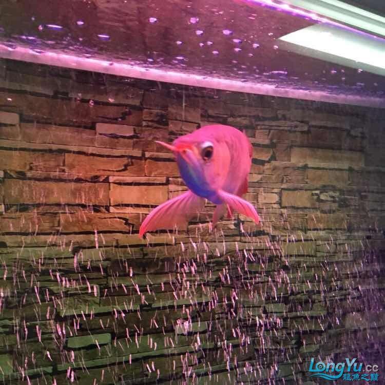 我【西安鱼市场】的龙啊龙 西安观赏鱼信息 西安博特第1张