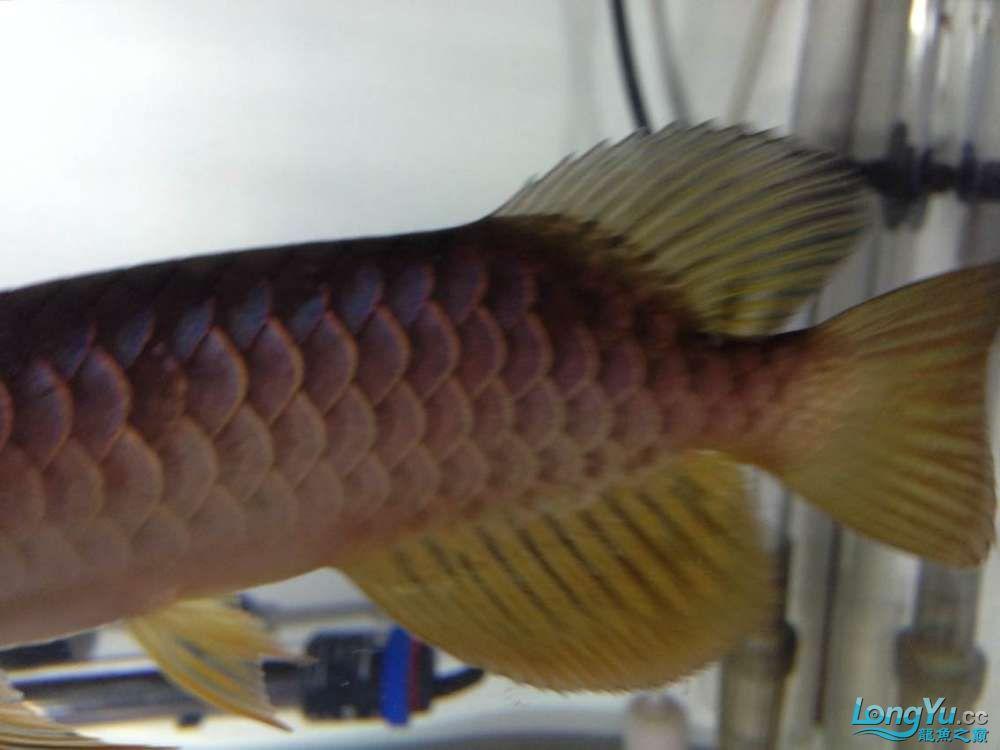 求各路神通鱼友帮我看看我买这个是否是过背 西安观赏鱼信息 西安博特第1张