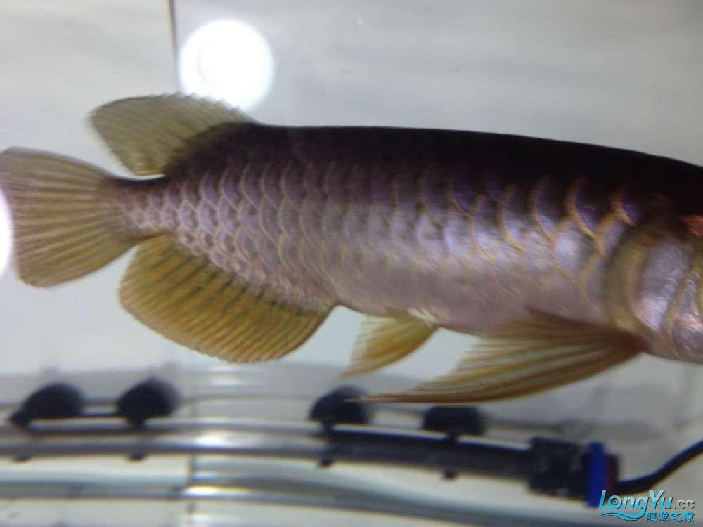 求各路神通鱼友帮我看看我买这个是否是过背 西安观赏鱼信息 西安博特第2张