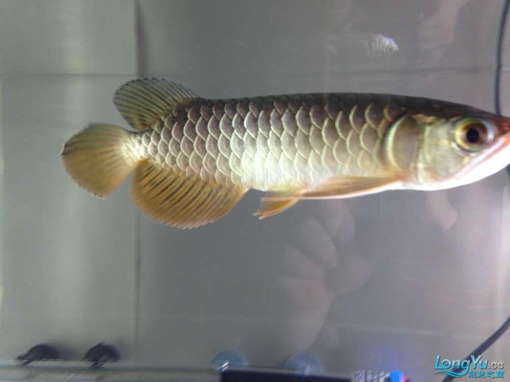 求各路神通鱼友帮我看看我买这个是否是过背 西安观赏鱼信息 西安博特第5张