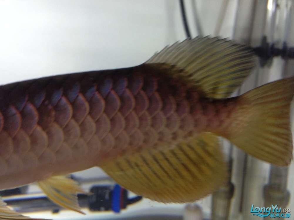 求各路神通鱼友帮我看看我买这个是否是过背 西安观赏鱼信息 西安博特第3张