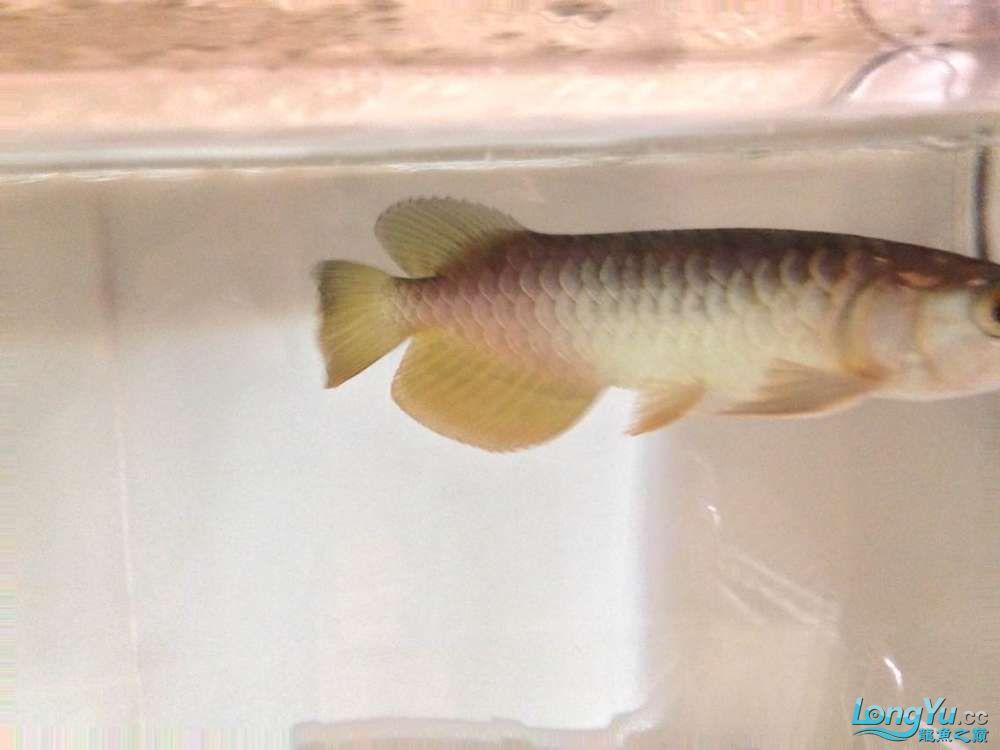 求各路神通鱼友帮我看看我买这个是否是过背 西安观赏鱼信息 西安博特第8张