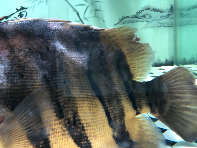 请求帮助看看这是什么病 西安观赏鱼信息 西安博特第3张