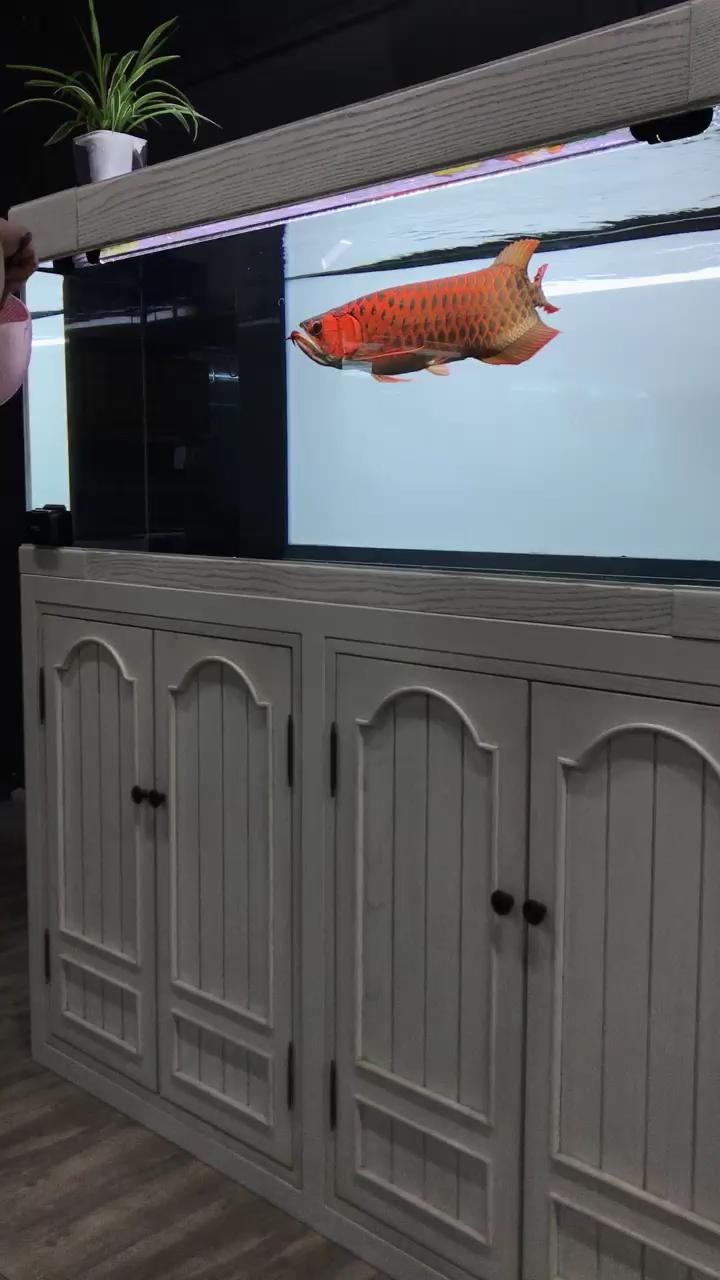 孟吉尔红龙商情 西安观赏鱼信息