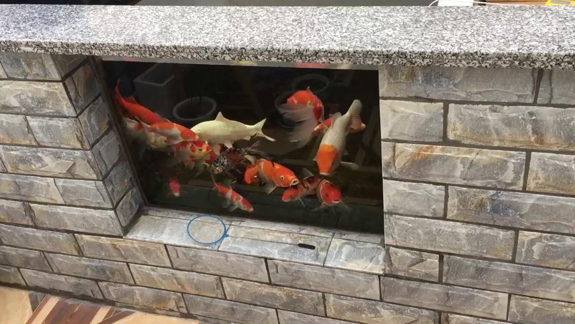 讨吃的锦鲤 西安龙鱼论坛 西安博特第1张
