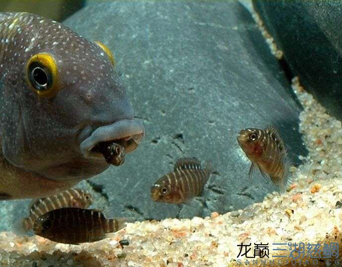 卡萨卡拉威蝴蝶 Kasakalawe 第156帖 西安观赏鱼信息 西安博特第1张
