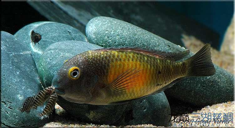 卡萨卡拉威蝴蝶 Kasakalawe 第156帖 西安观赏鱼信息 西安博特第2张