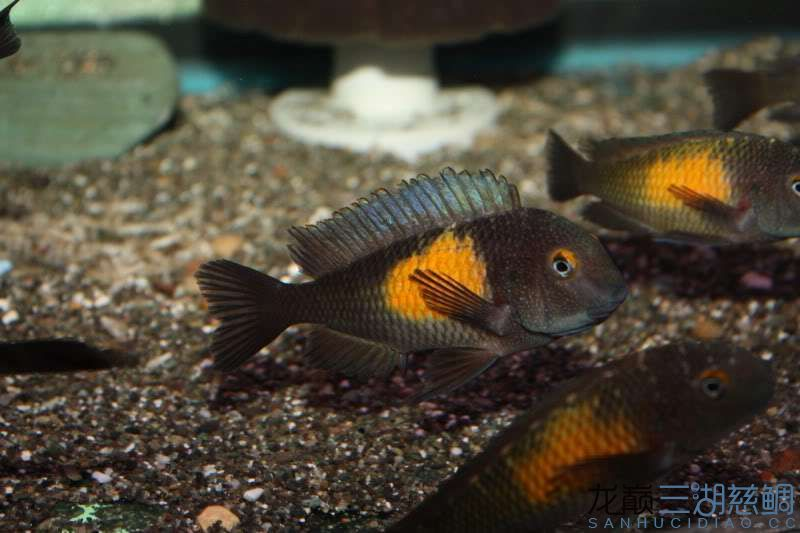 卡萨卡拉威蝴蝶 Kasakalawe 第156帖 西安观赏鱼信息 西安博特第3张