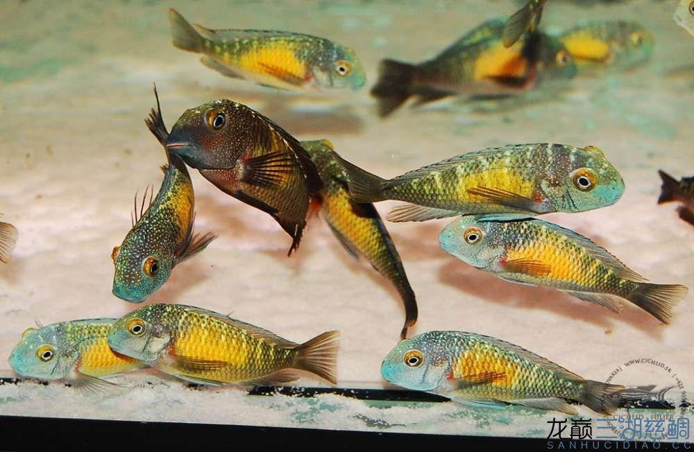卡萨卡拉威蝴蝶 Kasakalawe 第156帖 西安观赏鱼信息 西安博特第4张