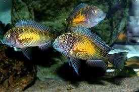 卡萨卡拉威蝴蝶 Kasakalawe 第156帖 西安观赏鱼信息 西安博特第5张