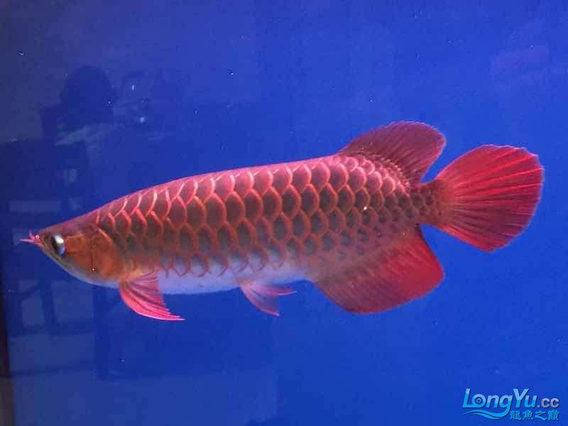 35公分小红到家期待一年后表现 西安龙鱼论坛 西安博特第1张