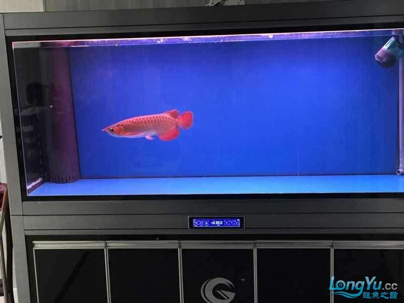 35公分小红到家期待一年后表现 西安龙鱼论坛 西安博特第3张
