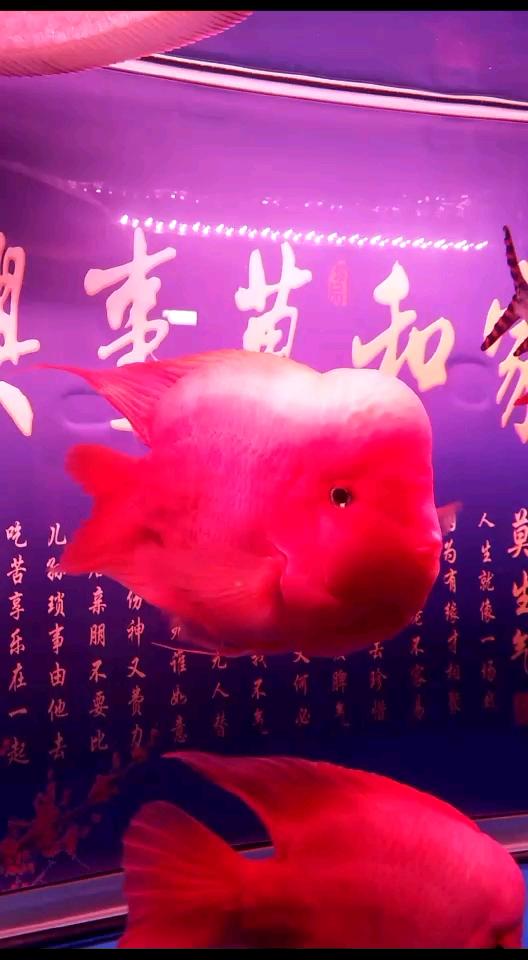 状态不错鹦鹉鱼 西安龙鱼论坛