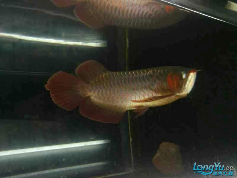 【西安观赏鱼批发】赤宏吃食状态超级牛逼飞起来吃 西安观赏鱼信息 西安博特第2张