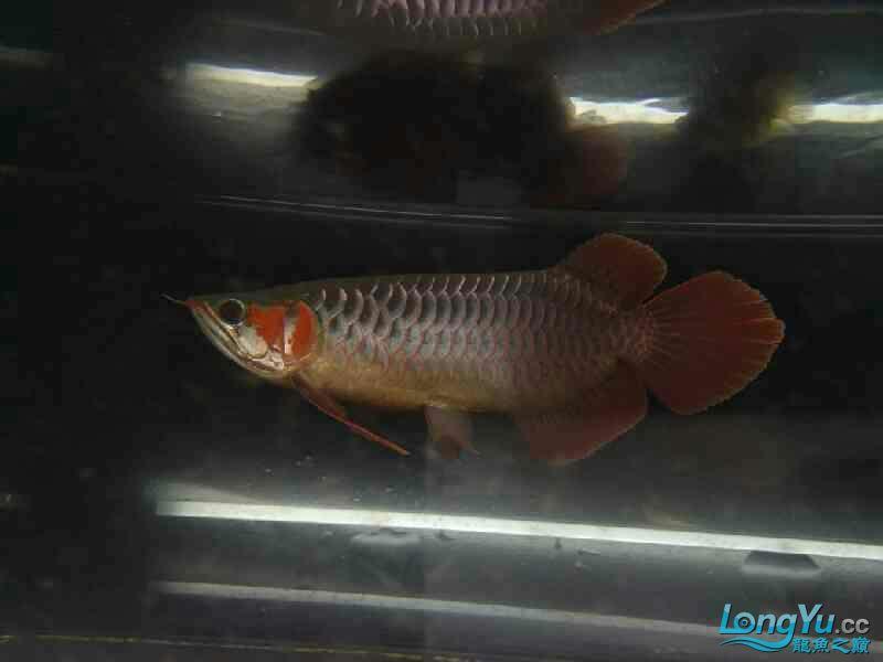 【西安观赏鱼批发】赤宏吃食状态超级牛逼飞起来吃 西安观赏鱼信息 西安博特第1张