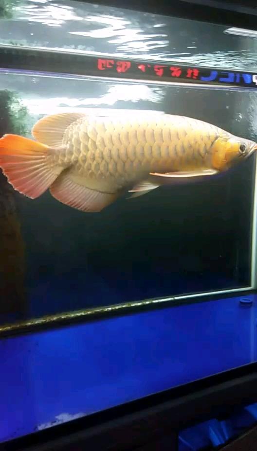 【西安三纹虎】养了快1年了龙鱼