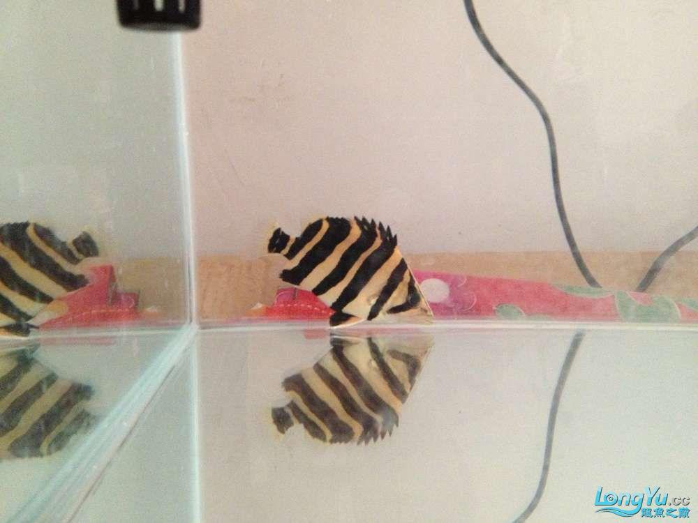 急寻印尼虎货源 西安观赏鱼信息 西安博特第2张