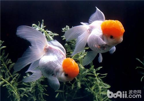 3号遥遥领先锦鲤 西安观赏鱼信息 西安博特第2张