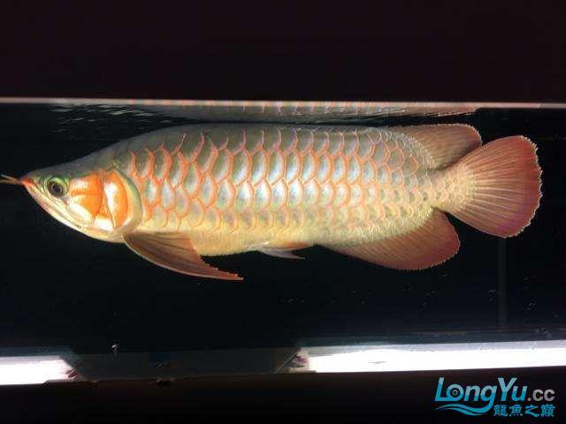 属于哪个品种非常漂亮 西安龙鱼论坛 西安博特第1张