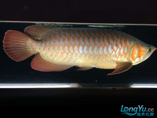 属于哪个品种非常漂亮 西安龙鱼论坛 西安博特第2张