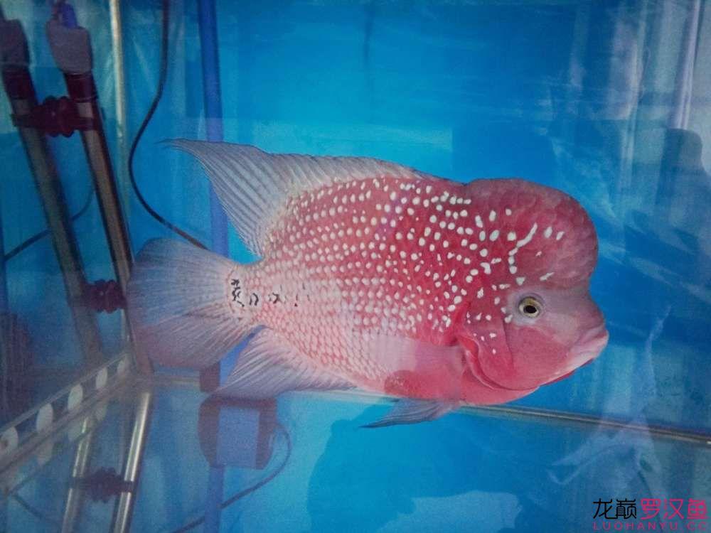 贼罗堂有好罗+ 幻彩金花 西安观赏鱼信息 西安博特第2张