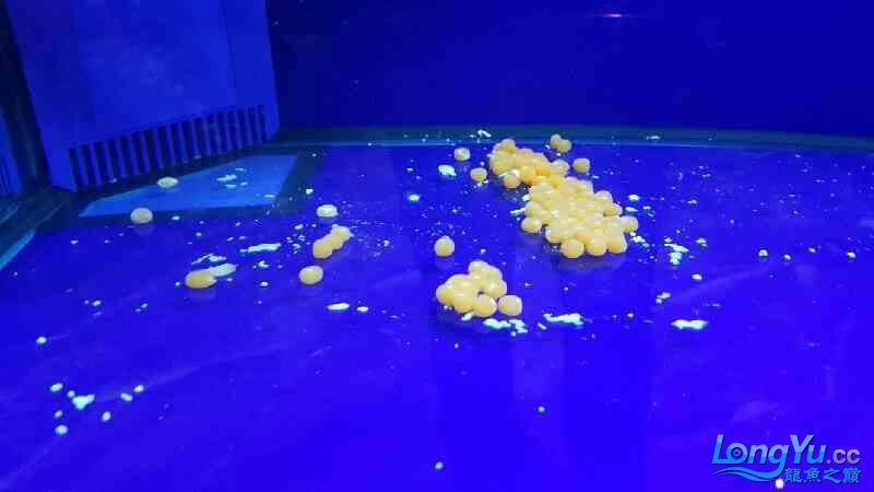 银龙在自家缸里下卵了【西安大型观赏鱼缸】