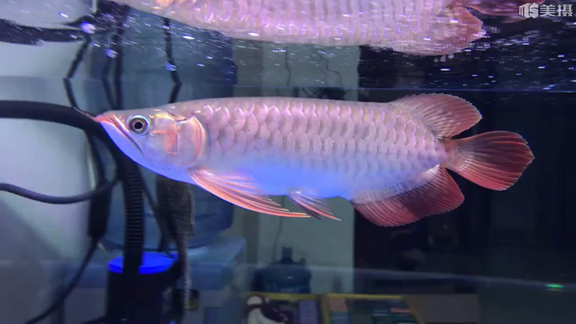 今天又从新用上了保温器 西安观赏鱼信息
