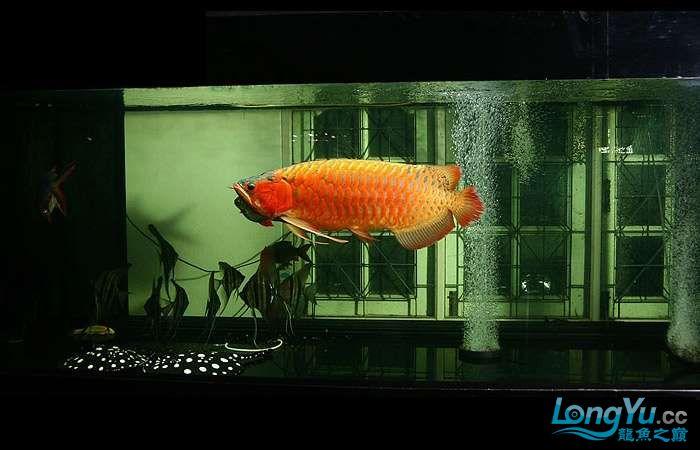 享受阳光的霸王超血红龙 西安观赏鱼信息 西安博特第1张