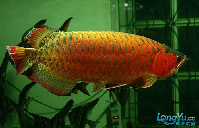 享受阳光的霸王超血红龙 西安观赏鱼信息 西安博特第3张