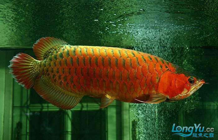 享受阳光的霸王超血红龙 西安观赏鱼信息 西安博特第4张