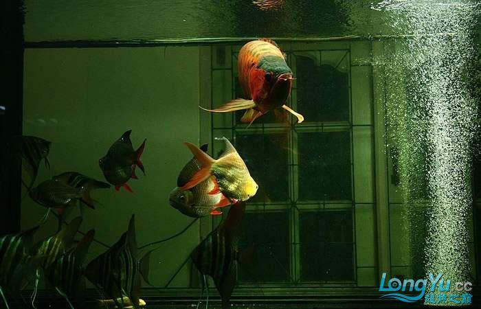 享受阳光的霸王超血红龙 西安观赏鱼信息 西安博特第5张