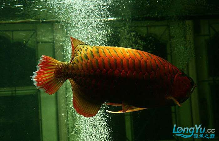 享受阳光的霸王超血红龙 西安观赏鱼信息 西安博特第6张