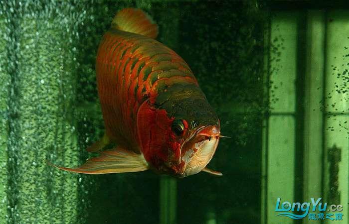 享受阳光的霸王超血红龙 西安观赏鱼信息 西安博特第7张