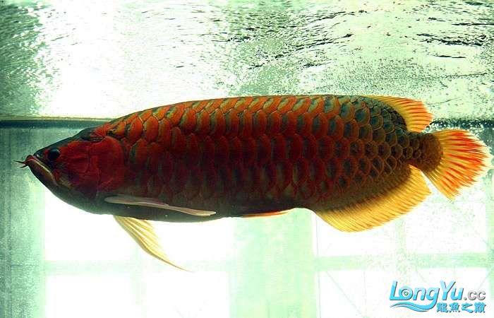 享受阳光的霸王超血红龙 西安观赏鱼信息 西安博特第11张